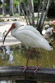 White Ibis Latin name Eudocimus albus