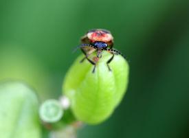stock photo of lightning bugs  - A macro shot of a lightning bug  - JPG