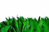 Green Leaves Of Palm Isolated On White Background. Nypa Fruticans Wurmb (nypa, Atap Palm, Nipa Palm, poster