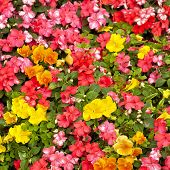 Orange impatiens and yellow pansies in a summer flower garden.