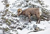 Bighorn sheep foraging on a snowy mountain hillside in Jasper National Park, Alberta,Canada.