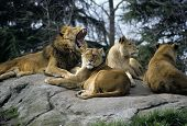 image of zoo animals  - lion pride at seattle zoo.