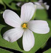 White Oxalis