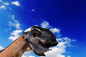 Goat head agaisnt blue cloudy sky background