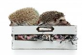 couple of two adorable hedgehogs standing back to back in a box with wool on white background, full  poster