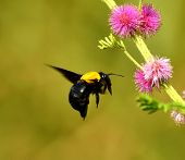 Black And Yellow Wasp Hovering In Front Of A Flower poster