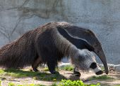 foto of ant-eater  - This is a photo of a giant ant eater walking - JPG