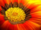 Super Macro Orange Gazania Daisy
