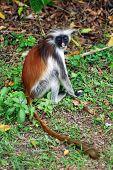 Red colobus