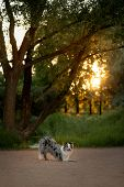 Obedient Dog In The Park. Sweet Marble Border Collie. Walk With A Pet poster