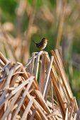 Singing Bird On The Reeds