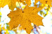 Autumn Background With Yellow Maple Leaf In Autumn Forest On Branch Against Background Of Other Yell poster