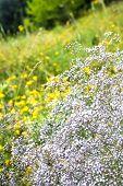Wild Gypsophila Flowers On Summer Meadow Background poster