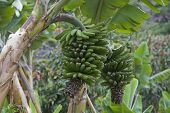 Bananas Ripening On A Plantation