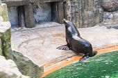Cute Fur Seal Rests At The Zoo In A Sunny Warm Day. Concept Of Animal Life In A Zoo And In Captivity poster