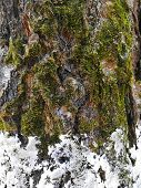 Tree Bark Closeup With White Snow And Green Moss. Background Tree Bark With Lichen Growing Verticall poster