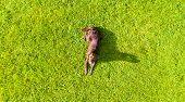 Aerial View A Brown Labrador Is Lying Down A Grass Field. Cute Chocolate Labrador Retriever In Green poster