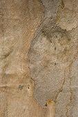 Gum Tree Bark Texture