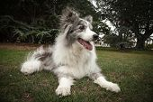 Elderly Blue Merle Border Collie Lying Down In A Park