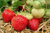 Strawberries Growing