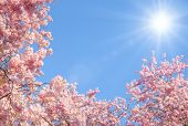 Blossoming Cherry Trees And The Sun