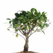 Chinese Green Bonsai Tree