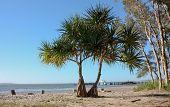 Pandanus tree on Fraser Island beach
