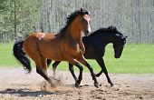 pic of breed horse  - Bay stallion of Ukrainian riding breed and black stallion of Russian riding breed - JPG