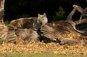 Gray Wolf In The Afternoon.