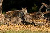 Lobo gris en la tarde.