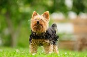 Shabby Yorkshire Terrier Dog On The Grass In Summer