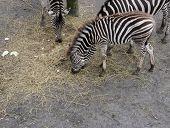 Three Zebras Eating