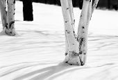 Winter_birch2