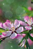 Blume des wilden Mandel Nahaufnahme