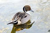 stock photo of pintail  - Male of northern pintail  - JPG