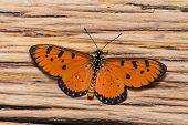 Male Tawny Coster Butterfly