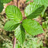 Green Leaves Of Blackberry Bush
