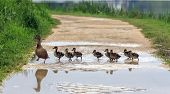 stock photo of baby duck  - A duck is crossing a path with ducklings following her in a row - JPG