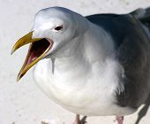 Seagull Calling