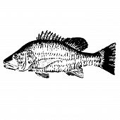 pic of red snapper  - Hand drawn vector illustration of a Mangrove Red Snapper - JPG