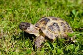 stock photo of turtle shell  - turtle walks and feeds on the green grass - JPG