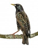 Rear view of a Common Starling perching on a branch, Sturnus vulgaris, isolated on white