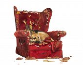stock photo of german-sheperd  - German Sheperd looking dipressed on a destroyed armchair - JPG