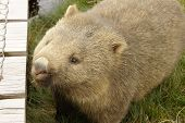 stock photo of wombat  - Wombat - JPG