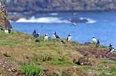 Puffins On A Nesting Island In Summer