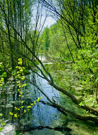 stock photo of boggy  - Small boggy rive in summer forest in sunny day - JPG