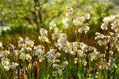 Wildflowers wild campions blooming in summer meadow