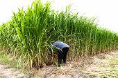 foto of machete  - Farmer cutting grass in the field Thailand - JPG
