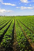 pic of turnip greens  - Rows of turnip plants in a cultivated farmers field - JPG
