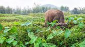 Buffalo In Field Of Thailand
